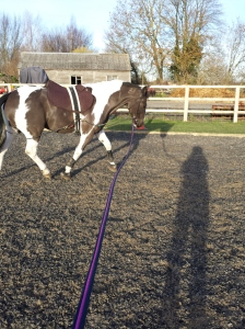 Muddy Wanda lunging in the sun today